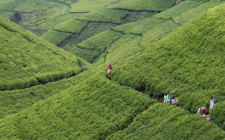 I nuovi tè di Dammann Frères: Darjeeling Phuguri e Darjeeling Goomtee